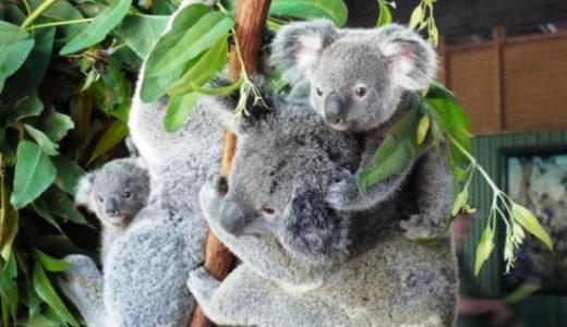 【ケアンズ観光】グレートバリアリーフ&コアラ抱っこで大満足の1日でした!