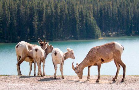 バンフ 野生動物  ビッグホーンシープ