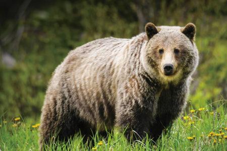 バンフ 野生動物 グリズリー クマ
