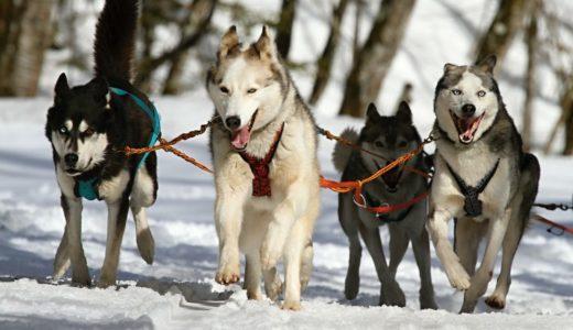 イエローナイフの犬ぞりツアーに参加する人が知っておいたほうが良いこと【オーロラ以外の現地ツアー】
